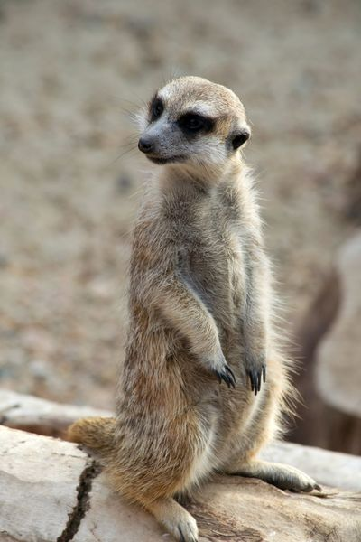 Close-up Sitting Silhouette Animal Head  Portrait Photography Animal Photography Nature Animal Portrait One Animal Outdoors Desert Mammal Portrait Animal Themes Animals In The Wild Animal Wildlife Meerkat Beauty In Nature Animal