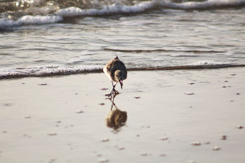 #bigshelll #beachlife #nature_collection #EyeEmNaturelover #nature Ocean #nopeople EyeEm Selects #sandpiper Animal Themes Low Tide Shore Tide