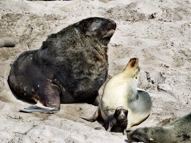New Zealand Sea Lion family Sub Antarctics Wildlife Vulnerable Auckland Islands Enderby Island Threatened Endemic Rare New Zealand Sea Lion Hookers Sea Lion Whakahao Sand Beach Animals In The Wild Animal Themes Animal Wildlife No People Mammal Nature Day Lying Down Outdoors Seal - Animal Sea Life Aquatic Mammal Sea Lion