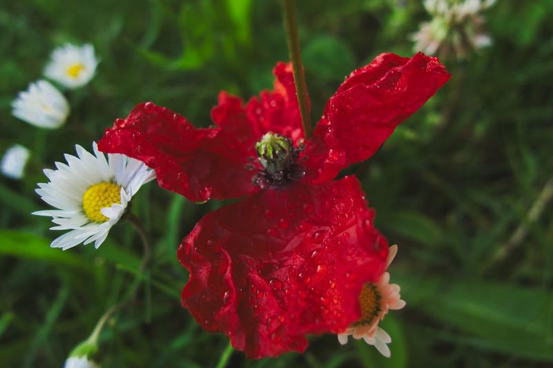RainDrop Poppy Flower Poppy Flowering Plant Flower Beauty In Nature Vulnerability  Petal Fragility Plant Red Focus On Foreground Pollen No People Flower Head Close-up Outdoors Inflorescence Pollination Growth Day Freshness Nature