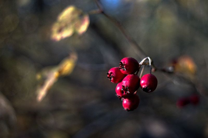 Close-up Focus On Foreground Nature Plant Selective Focus Fruit Berry Fruit Red Beauty In Nature Ripe Autumn Mood
