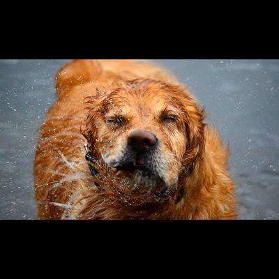 """Buddy"" Nikon D7000, ISO 1250 1/1000 f5.6. Igbest_shotz Super_shots Ig_shutterbugs Dogs_of_instagram Doglover Petsagram Ilovemydog Lovedogs Totallypawsomepups Dogoftheday Goldenretriever"