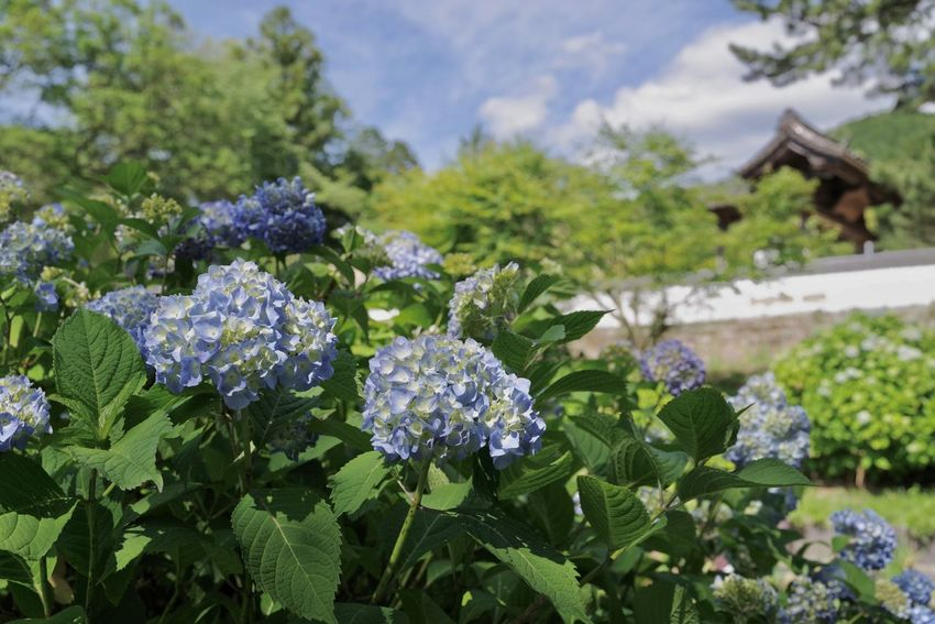 Blue Day Flower Freshness Green Color Hydrangea Macrophylla Japan Leaf Outdoors Plant Purple