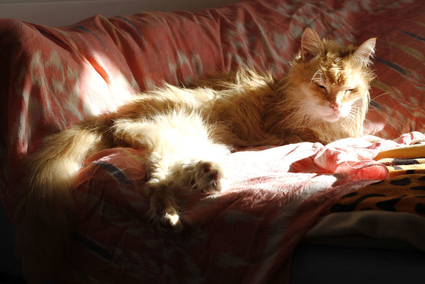 Tigi al sol Mammal Pets Domestic Domestic Animals Cat Feline Relaxation Furniture Domestic Cat Bed Lying Down Looking At Camera Whisker Animal Tiger-love Tiger Three Legs Three Paws Enjoing Life Einjoing Enjoing The Sun Tres Patas Gato Gatete SiestaTime
