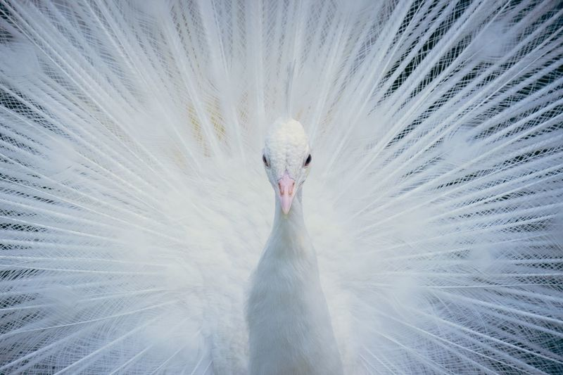 Portrait of white peacock with fanned out feathers