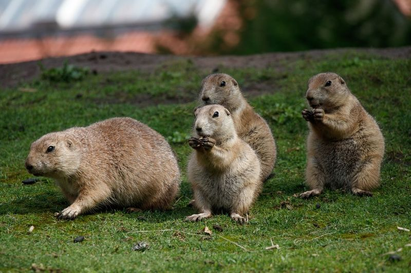 Nature Mammal Animal Themes Pets Close-up Animals In The Wild Outdoors Beauty In Nature Prairie Dogs