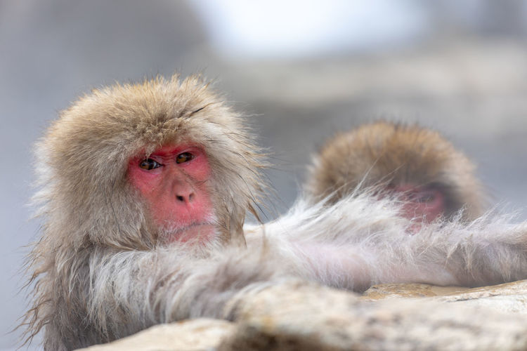 Japanese snow monkey in hot spring Snow Monkey Japanese Macaque Monkey Hot Spring Jigokudani-Snow-Monkey-Park Jigokudani Animal Wildlife Primate Mammal Animals In The Wild Group Of Animals Cold Temperature No People Portrait Two Animals Relaxation Animal Family Care Winter