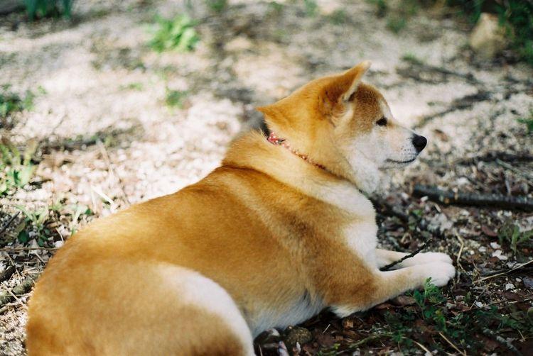 茶屋沼での花見のとき。杏の体重MAXだったころ(~_~;) 茶屋沼 花見 杏 しばいぬ Chaya Swamp Shibainu Dog Canon Ftb Film Photography