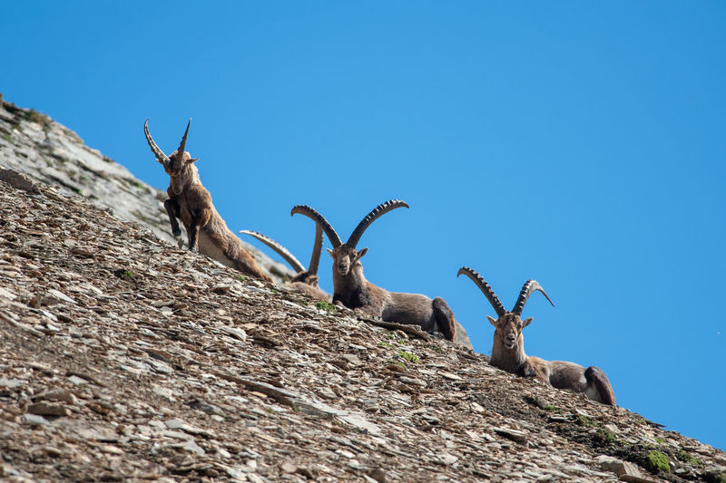 Low angle view of goat on mountain against clear blue sky