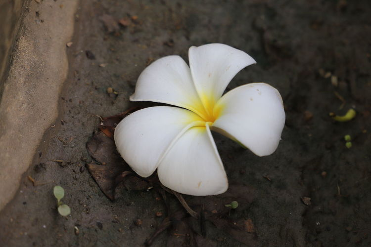 Close-up of white flower on field