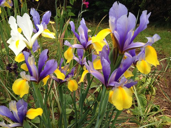 Bulb Irises Growing Our Own