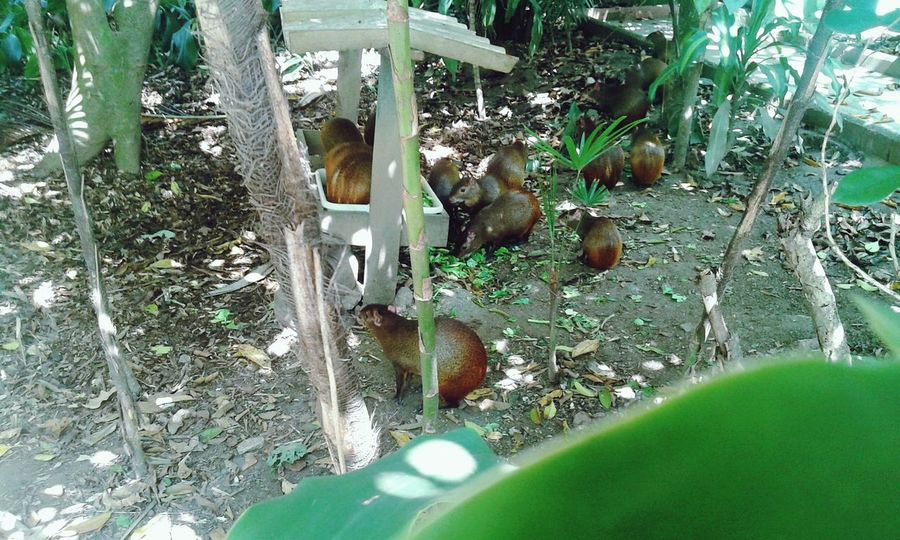 gouti is a common name the species of small rodents Dasyprocta gender and Dasyproctidae family, also known as acuchi, acouti, agouti or acuti. They are small rodent mammals, measuring between 49 and 64 centimeters. Seven species of agouti inhabit the Brazilian territory. Aguti Nature_collection Strolling On A Hot Day EyeEm Best Shots - Nature