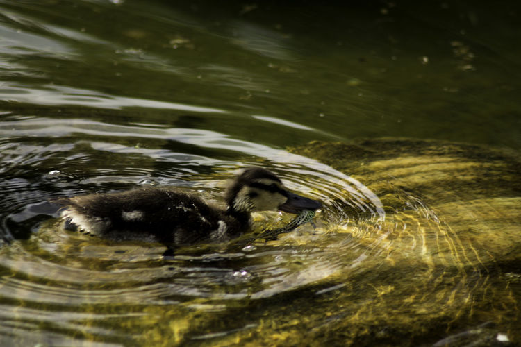 High Angle View Of Duckling Carrying Prey While Swimming In Lake