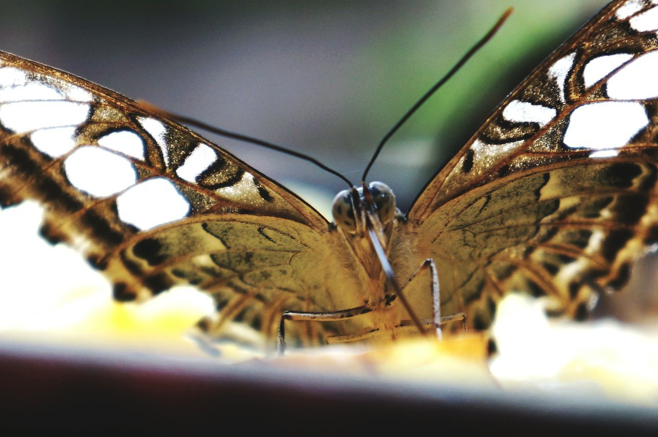butterfly - insect, animal themes, insect, one animal, animals in the wild, animal wing, close-up, no people, animal wildlife, selective focus, butterfly, day, outdoors, nature, beauty in nature