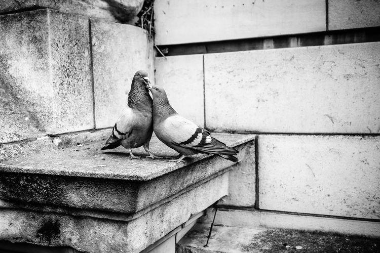 Love of Pigeons //London, UK, Xmas Animal Themes Animals Bird Birds Black & White Black And White Black&white Blackandwhite Davidsury.cz Great Britain London Love Monochrome No People Outdoors Pingeons Street Street Photography Streetphoto_bw Streetphotography Uk United Kingdom Urban