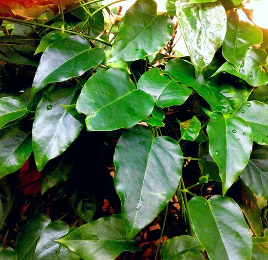Tylophora Pauciflora Close-up Edible Leaes Freshness Green Color Herbal Plant Outdoors