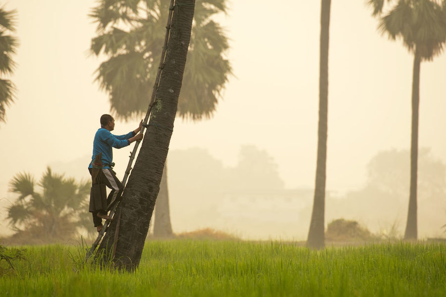 ASIA Climb Farmer Grass Morning Nature Rice Rice Paddy Sugar Sugar Palm Tree Thailand Travel Worker Backgrounds Beauty In Nature Countryside Job Landscape People Rice Field Sugar Palm Sugar Palm Fruit Summer Sunset Tired