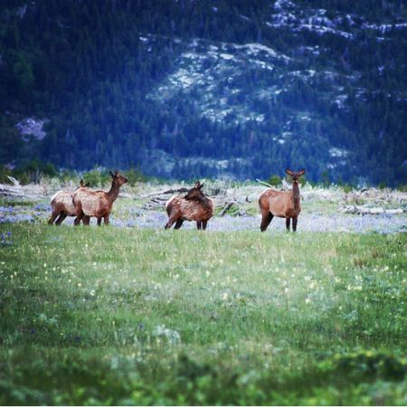 Waterton Lakes National Park Alberta Canada Elk