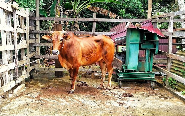 Hai there Cow Qurban Animal Mammal Day Domestic Animals Animal Themes Outdoors No People