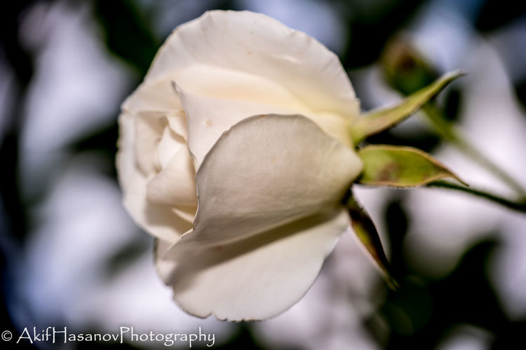 Beauty In Nature Blooming Close-up Flower Flower Head Fragility Freshness Growth Nature No People Petal Rose - Flower White Color
