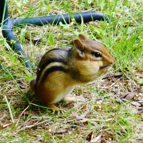 One Animal Animal Themes Animals In The Wild Rodent Field Grass Nature Outdoors Animal Wildlife Day No People Mammal Close-up Macro_collection Macro Photography Nature Photography Animals In The Wild Chipmunk Photography Chipmunk Close-up Chipmunk Eating