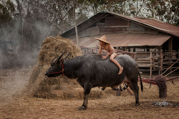 Shirtless boy sitting on buffalo against heap of hay