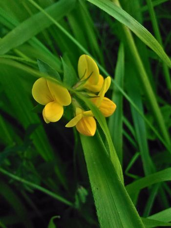 Jaune🌻 Yellow Flower Fleur Jaune Flower Head Flower Yellow Leaf Petal Close-up Plant Green Color
