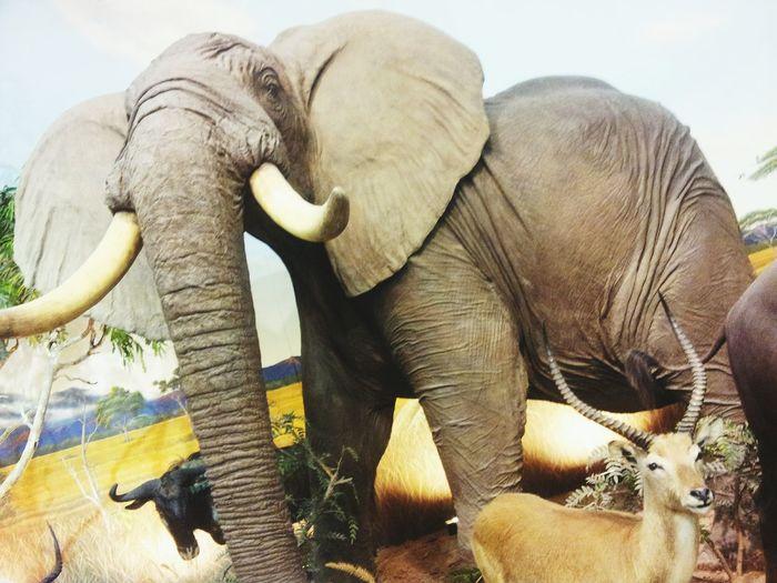 Elefante 🐘 Cabelas