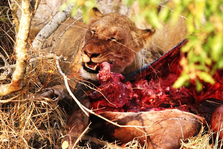Lioness with
