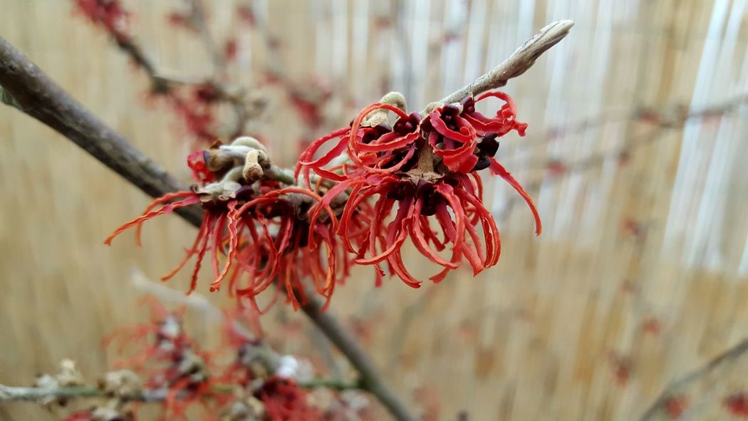 Hamamelis Flower Close-up Red Funky Nature Plant Outdoors Tranquility Frehness Beauty In Nature Flower Collection Plants Collection Blooming