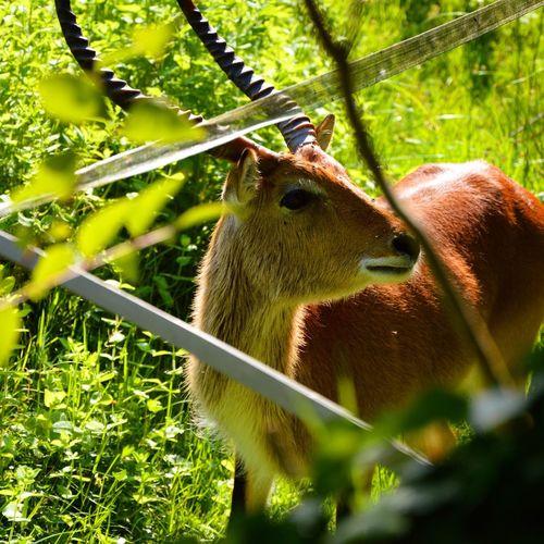 Nature Animal Themes Animal Head  Zoology Livestock