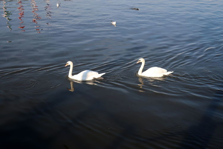 Water Animals In The Wild Animal Wildlife Bird Group Of Animals Vertebrate Lake Animal Themes Animal Swimming Swan Waterfront Water Bird No People Nature High Angle View White Color Day Rippled Animal Family Outdoors Floating On Water Hamburg Binnenalster