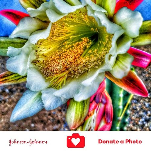 Special effects on a catus flowering plant color inhanced No People Outdoors Close-up Day Flower Flower Head Catus Plant Catus Flower Color Enhanced Special Effects Collection Plants Photography Johnson & Johnson Donate To Help Donate J&j To Better Lives Johnson And Johnson Donate A Photo Beauty In Nature