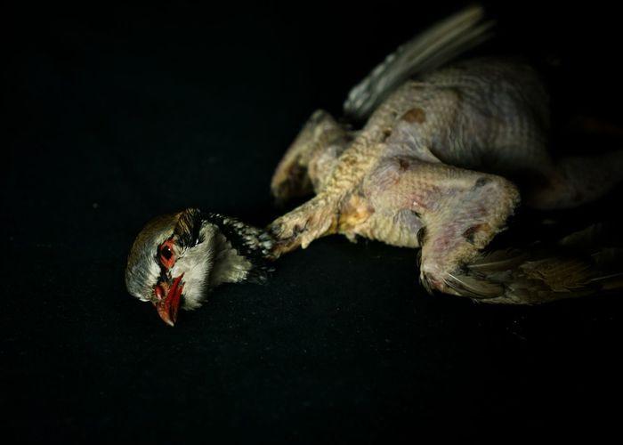 Chiaroscuro  Resigned Feathers Bird's Head Bokeh Photography Bokeh Texture Skin Food Partridge Vertebrate Mammal Animal Black Background Red Legged Partridge