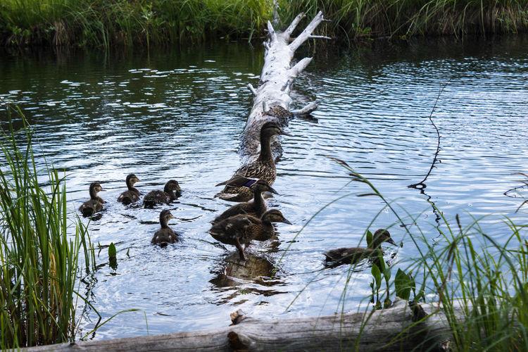 Ducks swimming on lake