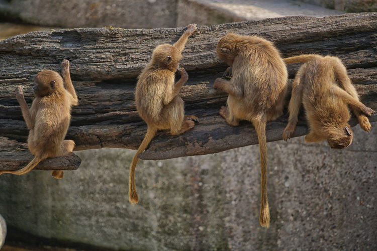 Monkeys in a row