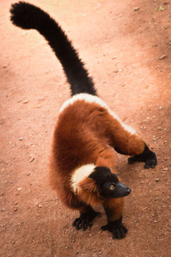 Ape Red Animal Wildlife Animals In The Wild Day Field High Angle View Land Lemur Mammal Monkey Nature No People One Animal Outdoors Primate Red Ruffed Lemur Vertebrate Young Animal