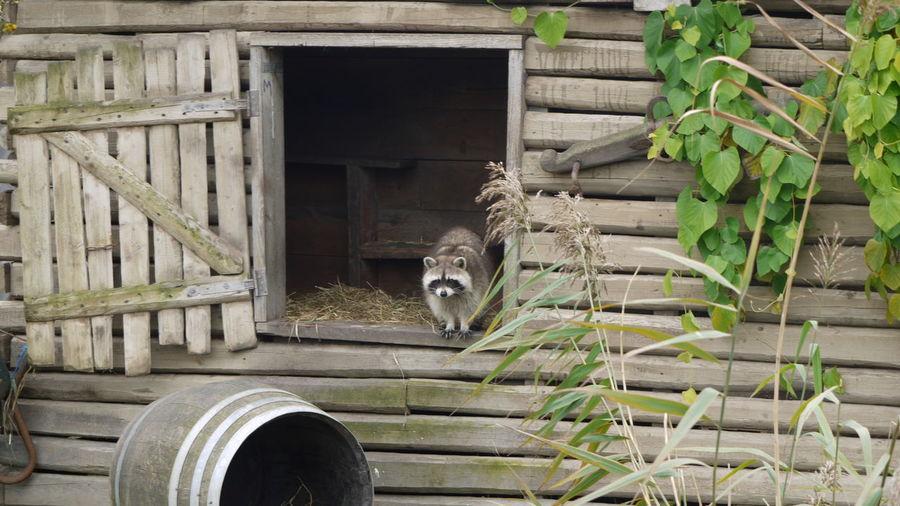 Animals Earth Environment House Nature Raccoon Rotterdam Wood Zoo