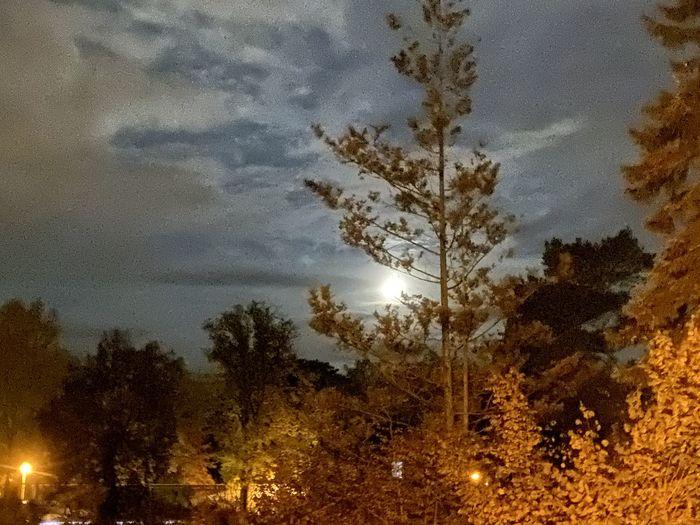 Moonligh Tree