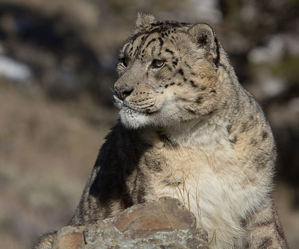 Close-up of snow leopard looking away
