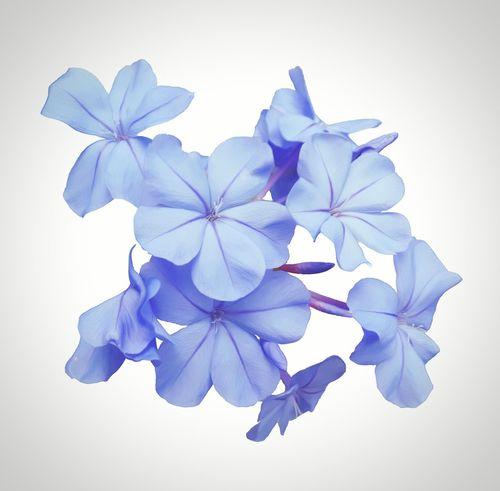 Flowers,Plants & Garden Botanical Flower Blue Plumbago Floral Sharons_snapshots