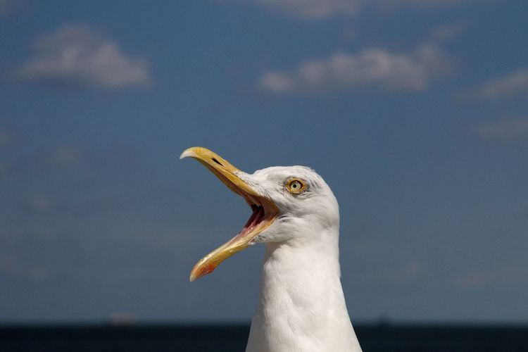 Close-up of seagull head with open beak against sea