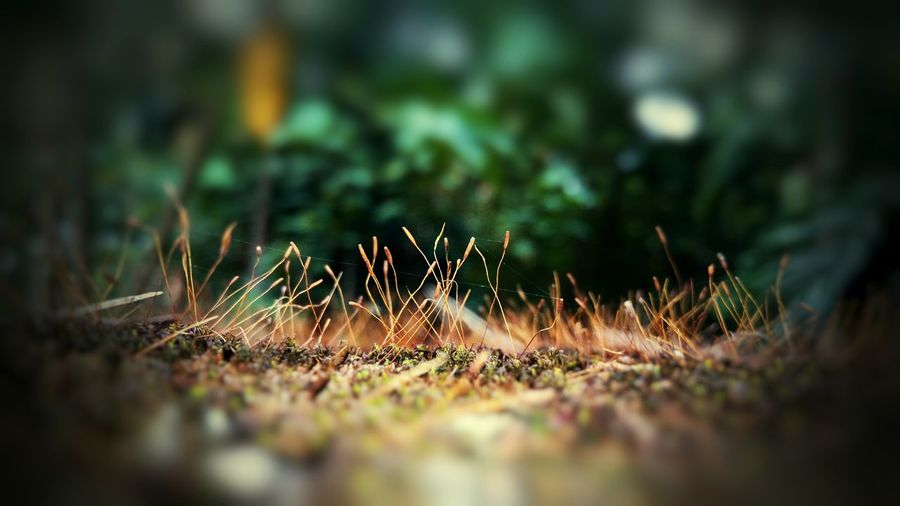 Dry Moss Great Atmosphere Outdoors Beauty In Nature Close-up Nature Selective Focus Grass Beauty In Nature Mobile Photography Growth Mobile_photographer Mobilephotography Flowers,Plants & Garden EyeEm Best Shots - Nature Nature Photography Plant No People Day Growth Eyemphotography EyeEm Nature Lover Colourful