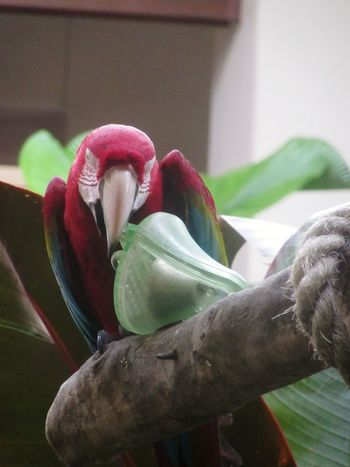 Ring the bell Macaw Macaw Parrot Red And Green Red & Green Macaw Birds Of EyeEm  Bird Bird Photography Birds_collection Parrot Bird Photography Bird Parrot Birds Of EyeEm  Macaw Red And Green Macaw Bell Perching Red Close-up