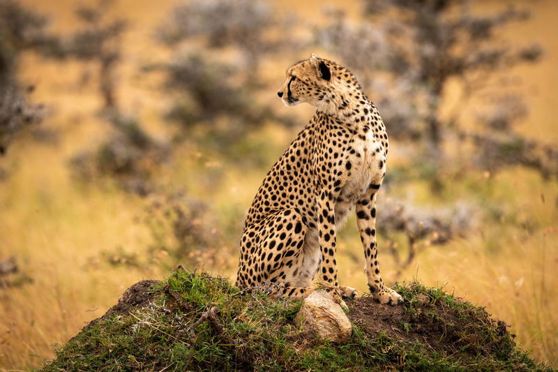 Cheetah sitting on grassy mound looks back Africa Kenya Masai Mara Kicheche Savannah Savanna Grassland Grass Acinonyx Jubatus Cheetah Cat Big Cat Predator Carnivore Nature Travel Safari Animals In The Wild Animal Wildlife Mammal Animal Animal Themes One Animal Feline Plant No People Tree Looking Away Focus On Foreground Looking Carnivora Undomesticated Cat