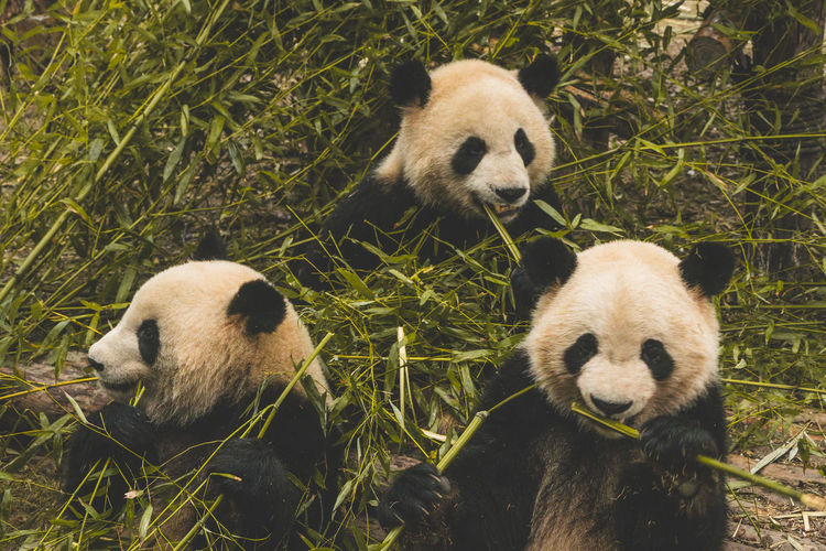 Panda recreation base in Chengdu - three eating pandas Animal Themes Group Of Animals Animal Animal Wildlife Panda - Animal Mammal Bear Animals In The Wild Two Animals Giant Panda Endangered Species Vertebrate No People Nature Sitting Day Plant Young Animal Land Bamboo - Plant Herbivorous