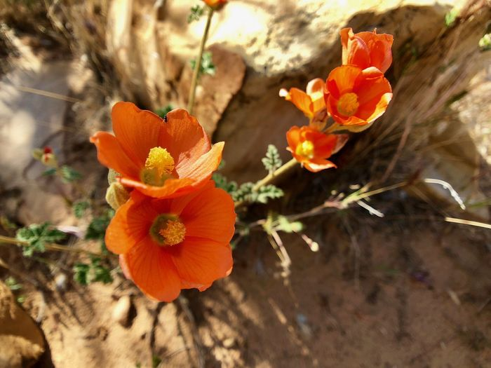 Orange blossom plant Flowering Plant Flower Plant Freshness Beauty In Nature Vulnerability  Fragility Petal Growth Flower Head Close-up Inflorescence Orange Color Nature No People Day Focus On Foreground High Angle View Outdoors Pollen
