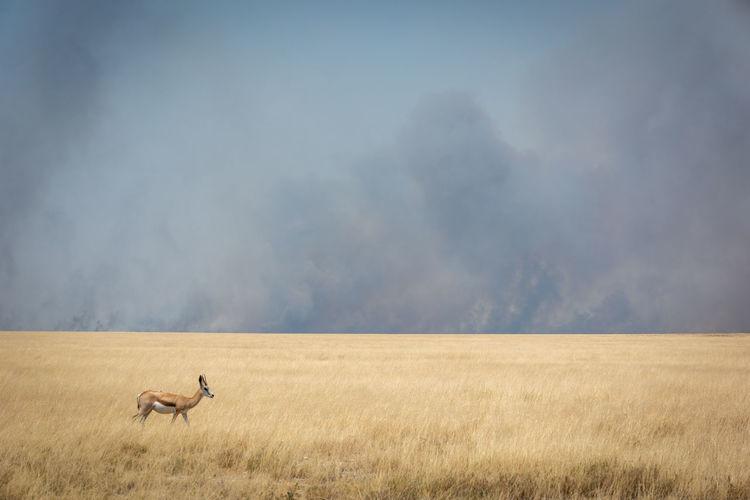 Springbok crosses grassy plain with smoke behind