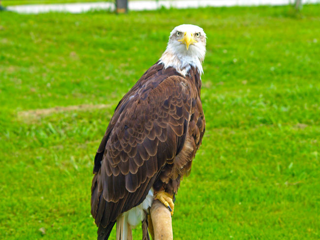 Animal Portrait Animal Themes Animal Wildlife Animals Animals In The Wild Bald Eagle Bald Eagle Bald Eagles Bird Bird Of Prey Close-up Day Eagle Eagle - Bird Eagles Falconry Focus On Foreground Haliaeetus Haliaeetus Leucocephalus Hawk Nature No People One Animal Outdoors