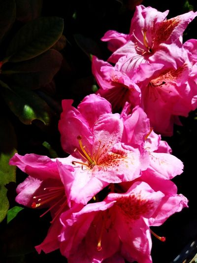 Flower Head Flower Water Pink Color Petal Close-up Rhododendron Blossom Blooming Pollen